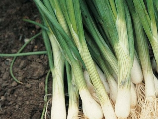 Onion - professional varieties